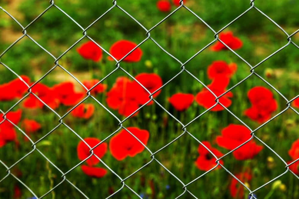 Field of red opium poppies   BigEasyFences